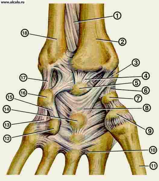 ...Анатомия лучезапястного сустава (кости и связки).  Связки левой кисти...