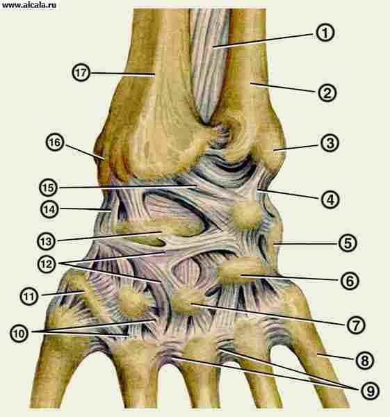 ...лучезапястного сустава (кости и связки).  Связки левой кисти (тыльная...