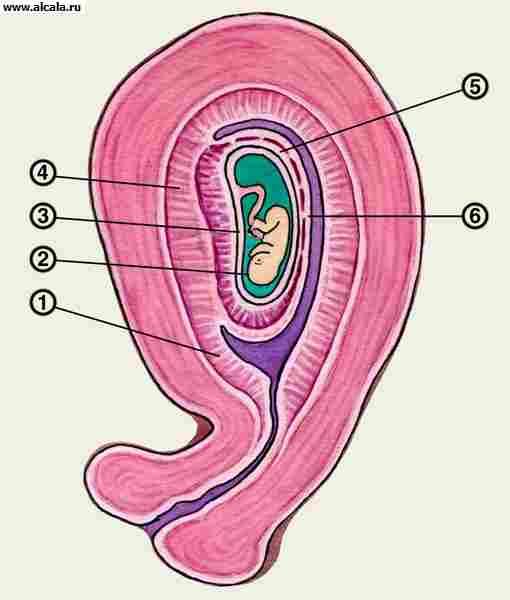 Рис. 2. Схематическое изображение развивающегося в матке зародыша: 1 — париетальная децидуальная оболочка; 2 — зародыш; 3 — амнион; 4 — базальная децидуальная оболочка; 5 — хорион; 6 — капсулярная децидуальная оболочка.