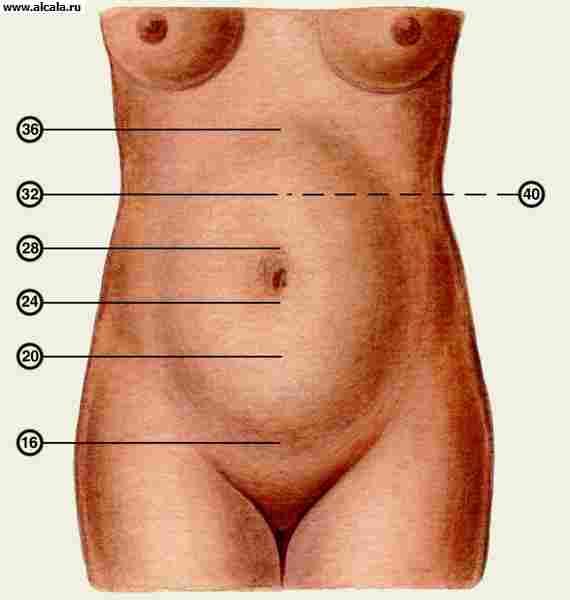 Рис. 3. Высота стояния дна матки при различных сроках беременности (цифрами обозначены недели беременности): 16 нед. — 6 см; 20 нед — 12—14 см; 24 нед — 20 см; 28 нед. — 24—26 см; 32 нед. — 28—30 см; 36 нед. — 32—34 см; 40 нед. — 28—30 см.